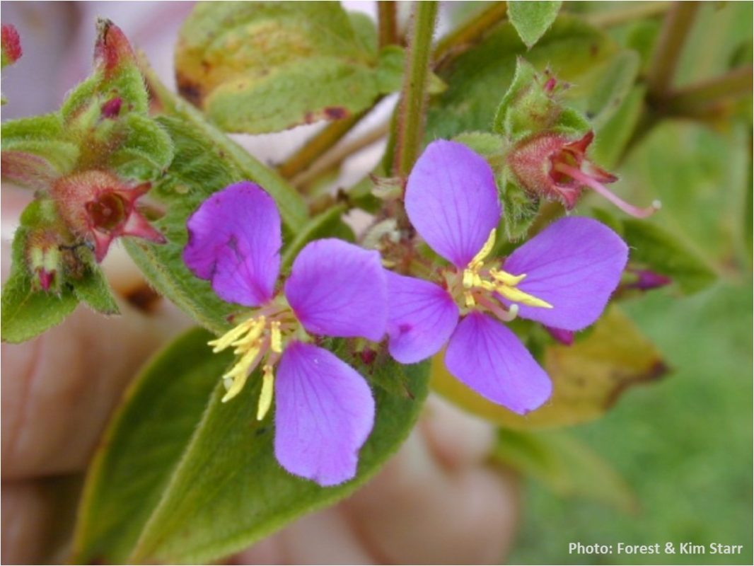 Cane Tibouchina Cane Ti Oahu Invasive Species Committee Oisc